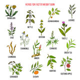 Best herbs for faster weight gain Stock Photo