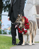 The Best Man. German shepherd is the best man at this wedding reception Royalty Free Stock Photo