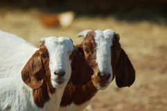 Best mates. Pair of young farm goats Stock Image