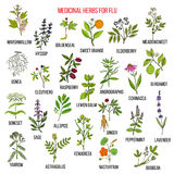 Best medicinal herbs for flu. Hand drawn vector set of medicinal plants Royalty Free Stock Photo