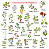 Best medicinal herbs for the immune system. Hand drawn set of medicinal herbs Stock Photo