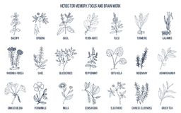 Best medicinal herbs for memory, focus and brain work. Hand drawn vector set of medicinal plants Stock Image