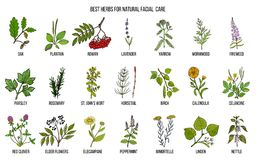 Best medicinal herbs for natural facial care. Hand drawn vector set of medicinal plants Royalty Free Stock Image
