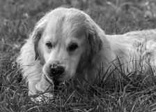 The best moments and the most endearing of my beloved dog Prince. A loving golden retriever, who loves to play, and the perfect company for any family Royalty Free Stock Images
