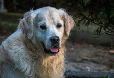 The best moments and the most endearing of my beloved dog Prince. A loving golden retriever, who loves to play, and the perfect company for any family Stock Photography