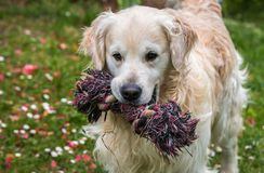 The best moments and the most endearing of my beloved dog Prince. A loving golden retriever, who loves to play, and the perfect company for any family Royalty Free Stock Photography