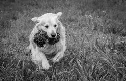The best moments and the most endearing of my beloved dog Prince. A loving golden retriever, who loves to play, and the perfect company for any family Royalty Free Stock Image