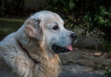 The best moments and the most endearing of my beloved dog Prince. A loving golden retriever, who loves to play, and the perfect company for any family Royalty Free Stock Photo