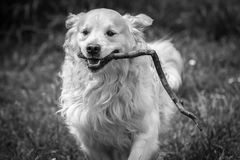 The best moments and the most endearing of my beloved dog Prince. A loving golden retriever, who loves to play, and the perfect company for any family Stock Image