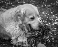 The best moments and the most endearing of my beloved dog Prince. A loving golden retriever, who loves to play, and the perfect company for any family Stock Photo