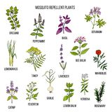 Best mosquito repellent plants. Hand drawn vector set of medicinal plants Royalty Free Stock Photos