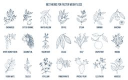 Best natural herbs for fast weight loss vector illustration