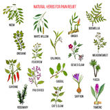 Best natural herbs for pain relief. Hand drawn vector set of medicinal plants Stock Images