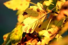 Yellow Autumn leaves detail stock images