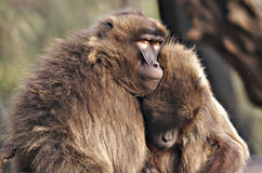 Best of Pals. Juvenile Gelada Babboons Stock Image