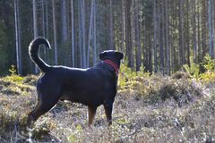The best Rottweiler. Best Friend and dog shining Royalty Free Stock Images