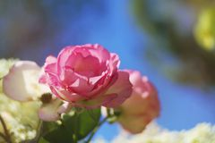 Pink roses in the morning. The best scene of the morning is a garden full of blooming pink roses behind your house Stock Photography