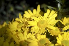 Yellowish daisies in the morning stock photo