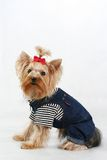 Best terrier. Amusing yorkshire terrier with a red bow Stock Image