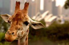 Best view in the house. Giraffe at Sydney's Taronga Zoo overlooking the Sydney Opera House Royalty Free Stock Image
