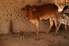 Best village friends: puppy and young cow. Near a baked brick wall in village in Tharparkar, Sindh. Goats also seen nearby royalty free stock image