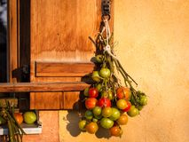 Best way to ripen green tomatoes. The best way to ripen green tomatoes by hanginng up the whole plant on the sunny side of the house wall Stock Photography