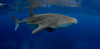 Best whale shark ever. Stunning whale shark on a raining day Royalty Free Stock Photos