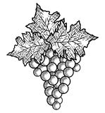 Best wine grapes fruit Stock Images