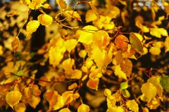 The Best Yellow to Orange leaves Ever, True Bright Autumn Colours. stock photos