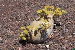 Bestand installatie Vitaceae, Latijn: Cyphostemma uter, NamÃbia Royalty-vrije Stock Fotografie