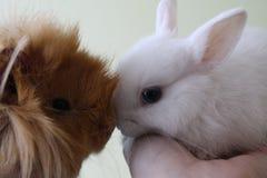 Beste Freunde - Meerschweinchen und ein Kaninchen Stockfotos