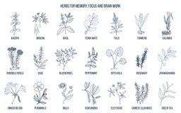 Beste geneeskrachtige kruiden voor geheugen, nadruk en het hersenenwerk vector illustratie