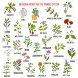 Beste geneeskrachtige kruiden voor het immuunsysteem Stock Foto