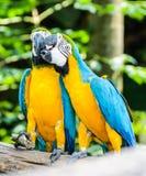 Bestes des Küssens des süßen Keilschwanzsittichs, blau-geflügelter Keilschwanzsittich, gelb-blauer Keilschwanzsittich Lizenzfreies Stockfoto