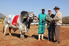 Bestes männliches Tier des weißen Brahman- Stiers und Gesamtmeister Lizenzfreies Stockfoto