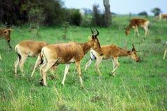 Bestia del cervo maschio Immagini Stock