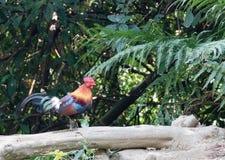 Bestia fantastica e dove trovarli - gallus del Gallus/junglefowl rosso Immagine Stock Libera da Diritti