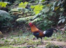 Bestia fantastica e dove trovarli - gallus del Gallus/junglefowl rosso Fotografia Stock