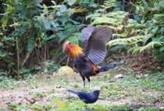 Bestia fantastica e dove trovarli - gallus del Gallus/junglefowl rosso Immagini Stock Libere da Diritti
