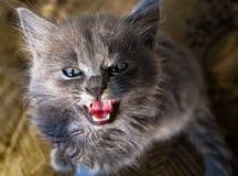bestia muy mala de la mirada del gatito Foto de archivo