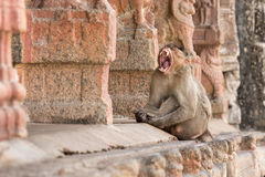 Bestial grin of a monkey. The monkey sits with a wide open mouth among the ruins of the ancient city of Vijayanagar Royalty Free Stock Image