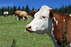 bestiame Immagini Stock Libere da Diritti