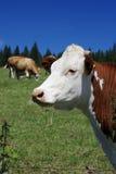 bestiame Immagini Stock