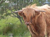 Bestiame 3 di Higland Fotografia Stock Libera da Diritti