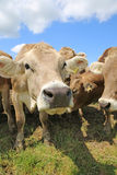Bestiame Immagine Stock