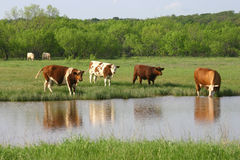 Bestiame ad acqua Fotografie Stock