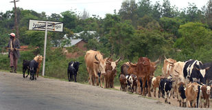 Bestiame africano Immagini Stock Libere da Diritti