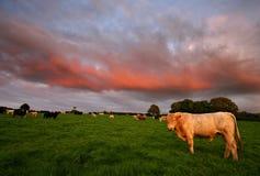 Bestiame ai prosciutti del sud di tramonto Immagine Stock