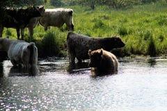 Bestiame al fiume Immagini Stock Libere da Diritti
