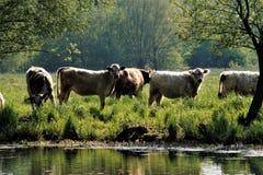 Bestiame al fiume Fotografia Stock